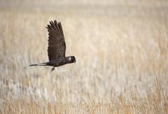 Baudin's Black-Cockatoo (Image ID 37949)