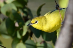 Australian Yellow White-eye (Image ID 38315)