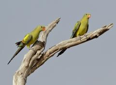 Regent Parrot (Image ID 38203)