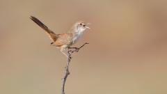 Spinifexbird (Image ID 38488)