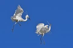 Little Egret (Image ID 38226)