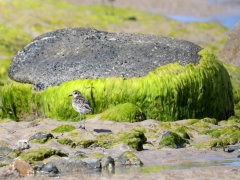 Pacific Golden Plover (Image ID 38702)