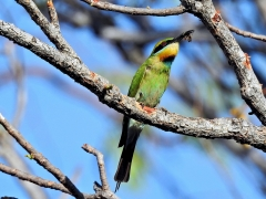 Rainbow Bee-eater (Image ID 38699)