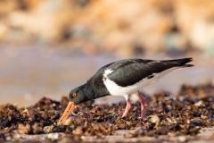 Australian Pied Oystercatcher (Image ID 38722)