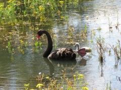Black Swan (Image ID 38815)
