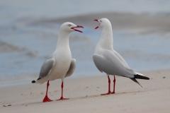 Silver Gull (Image ID 38666)