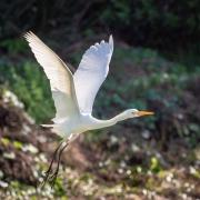 Plumed Egret (Image ID 38695)