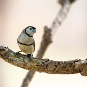Double-barred Finch (Image ID 39218)