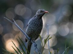 Regent Bowerbird (Image ID 38838)
