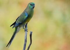 Red-rumped Parrot (Image ID 38983)