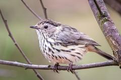 Speckled Warbler (Image ID 38662)