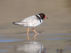 Hooded Plover (Image ID 38697)