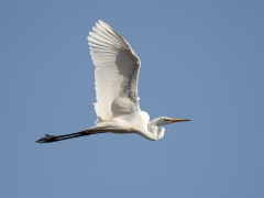 Great Egret (Image ID 38683)