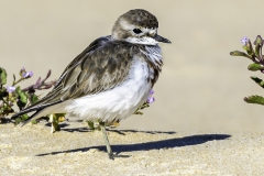Double-banded Plover (Image ID 38703)