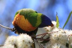 Rainbow Lorikeet (Image ID 39008)