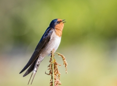Welcome Swallow (Image ID 38725)