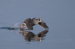Pink-eared Duck (Image ID 39075)