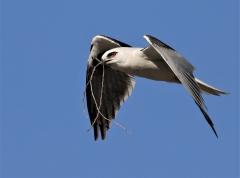 Black-shouldered Kite (Image ID 38790)