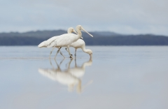 Yellow-billed Spoonbill (Image ID 38767)