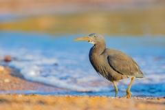 Eastern Reef Egret (Image ID 38723)