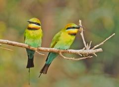 Rainbow Bee-eater (Image ID 38730)