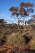 South Bore Track, Murray-Sunset National Park (Image ID 38852)