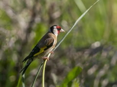 European Goldfinch (Image ID 39694)