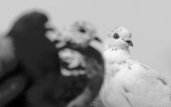 Rock Dove (Image ID 39801)