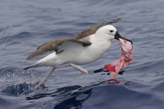 Indian Yellow-nosed Albatross (Image ID 39733)