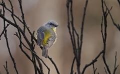 Eastern Yellow Robin (Image ID 39740)