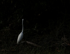 Great Egret (Image ID 39635)