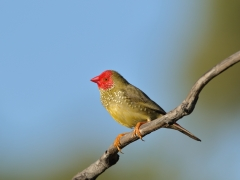 Star Finch (Image ID 39742)