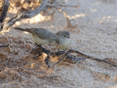 Slender-billed Thornbill (Image ID 39731)