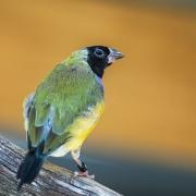Gouldian Finch (Image ID 39770)