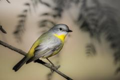 Eastern Yellow Robin (Image ID 39786)