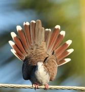 Bar-shouldered Dove (Image ID 39715)