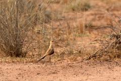 Australian Pratincole (Image ID 39743)