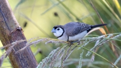 Double-barred Finch (Image ID 40279)