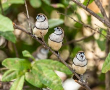 Double-barred Finch (Image ID 39976)