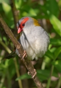 Red-browed Finch (Image ID 40269)