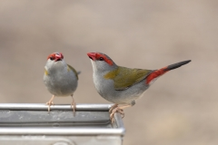 Red-browed Finch (Image ID 40191)