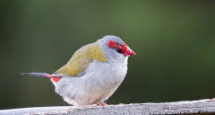 Red-browed Finch (Image ID 40238)
