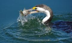 Great Pied Cormorant (Image ID 40080)