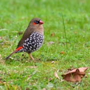 Red-eared Firetail (Image ID 40105)