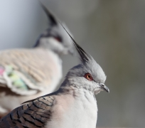 Crested Pigeon (Image ID 39972)
