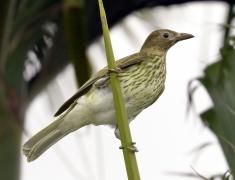 Australasian Figbird (Image ID 39811)