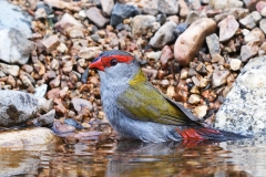 Red-browed Finch (Image ID 40169)