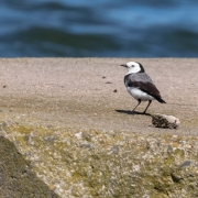 White-fronted Chat (Image ID 40255)