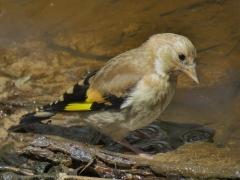 European Goldfinch (Image ID 40121)