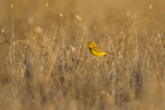 Yellow Chat (Image ID 40221)